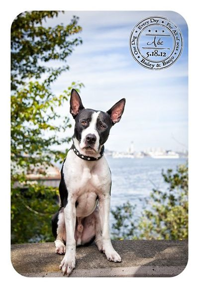 Abe - May 18 - Rescued Great Dane/Pitbull Mix / puppies galore ...