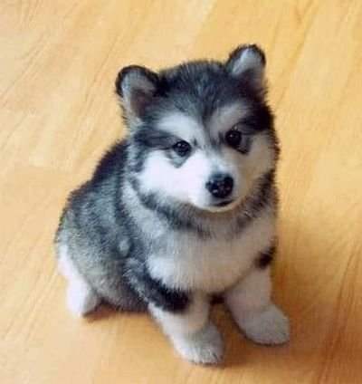 Pomsky!! Pomeranian and Husky mix. / all dogs - Juxtapost