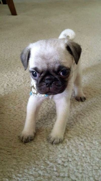 Itty Bitty Baby Pug Puppies Galore Juxtapost