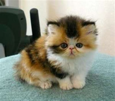 White Squishy Face Cat : Calico exotic shorthair / puppies galore - Juxtapost