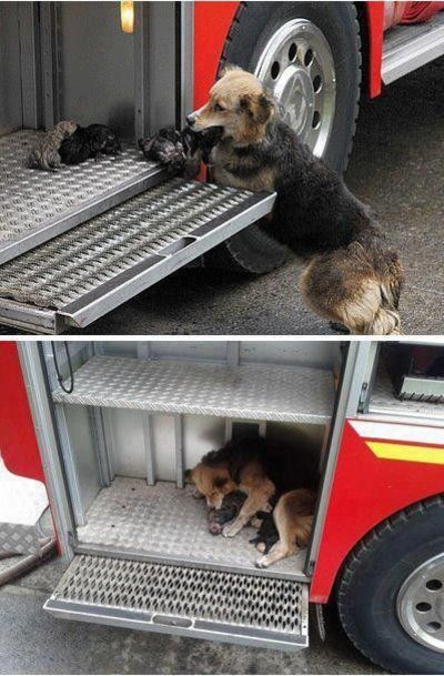 After saving her puppies from a house fire, mama dog brings them to the safest place she can think of'8364;' (dogs are AMAZING)