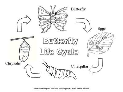 life cycle of a butterfly coloring page / Preschool items - Juxtapost