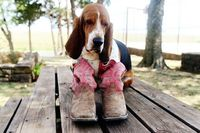 Basset in Boots! #bassethound #dog