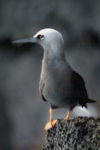 You want to see these birds in action, incredible fliers over the waves searching for fish. They nest in the rough cliffs directly in the salt spray from the ocean. The �€œ Noio K�h��€in Hawaiian or Brown Noddy (Latin: Anous stolidus&...