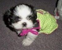 AKC Shih-Tzu Puppies!!!
