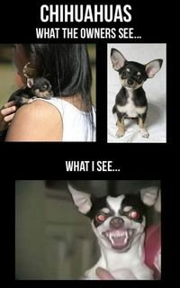 Chihuahuas meme lol humor funny pictures funny photos funny