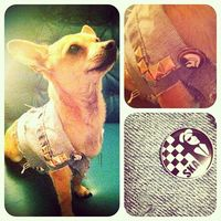#DIY #craft #jean #punk #ska #rudeboy #vest #dog #chihuahua #cutedog #pets #petclothes #dogclothes #custome #stud #funny