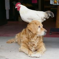 Loyal dog with Chicken Friend