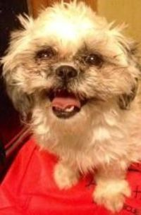 Lin May is an adoptable Shih Tzu Dog in Staten Island, NY. Lin May was found stray in Brooklyn, NY - She is a 1yo, 7lb shih-tzu...One word describes her - PERFECT!!! If you are interested in adopting ...