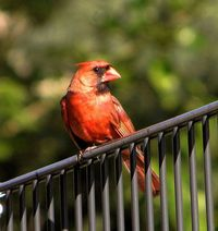 Cardinal on the Fence by KoolPix, via Flickr
