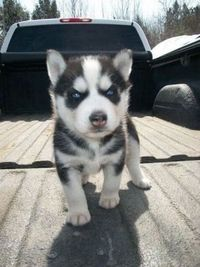 Evil Husky Puppies Galore Juxtapost