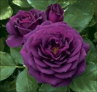 Ebb Tide Purple Rose
