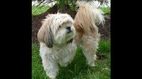 Molly is an 8 year old Shih Tzu for adoption from Humane Soceity of Missouri. Please Adopt!